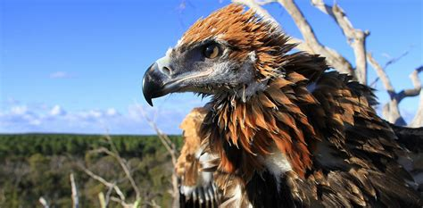Mass slaughter of wedge-tailed eagles could have Australia